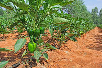 Capsicum cultivation india plants ripening green fruits field also known as bell pepper red pepper 74795209